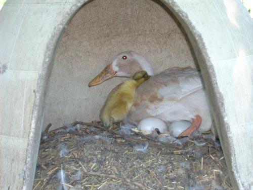 duckling1.jpg