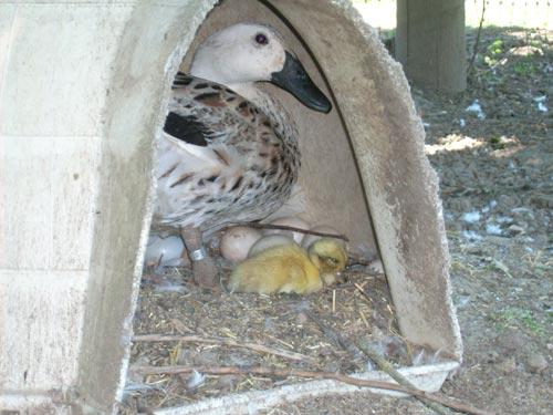 duckling2.jpg